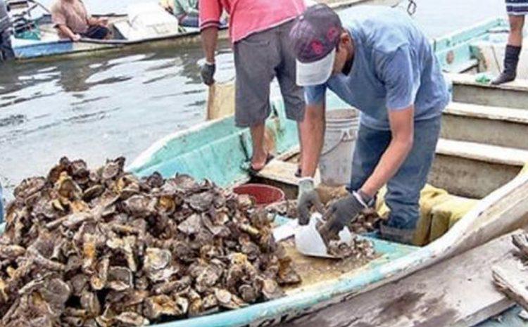 Consejo Regional pide acelerar tramitación que permita el ingreso del ostión tongoyino al mercado asiático