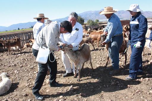 CORE aprueba $156 millones para desparasitar más de 100 mil cabezas de ganado para veranadas