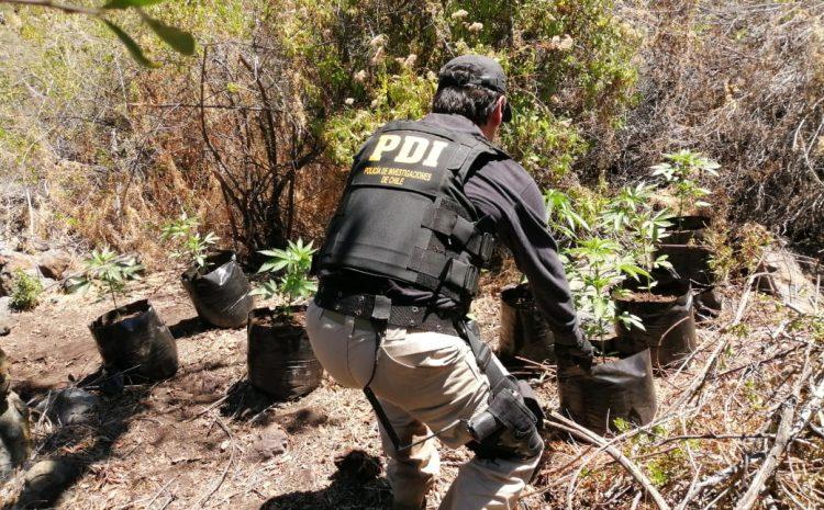 PDI realiza hallazgo de plantación de Cannabis en la localidad de Huintil en Illapel