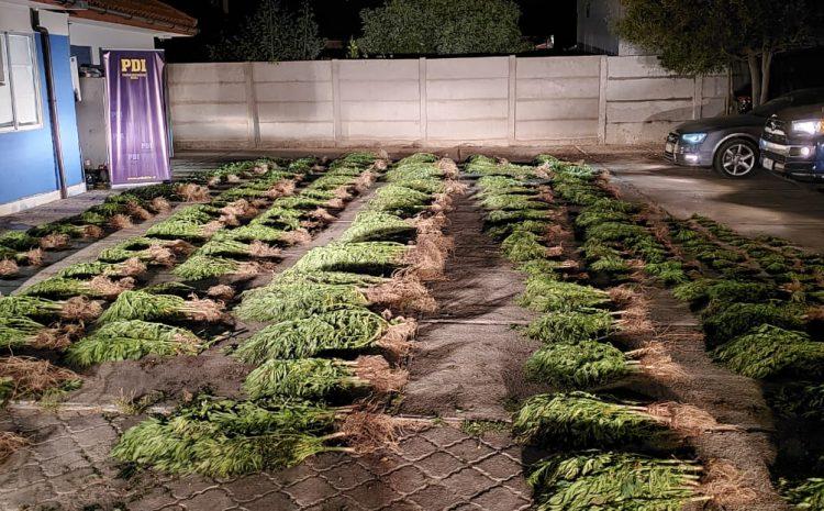 Incautan más de 3000 plantas de Cannabis Sativa en dos comunas de la provincia de Choapa
