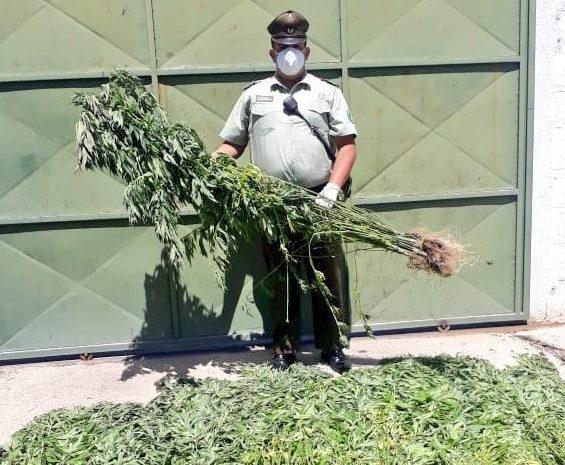 Carabineros del reten de Canela logró incautar cerca de 374 plantas de Cannabis