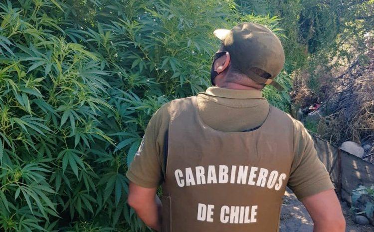 Mas de 800 plantas de Cannabis fueron decomisadas en el sector rural de Salamanca