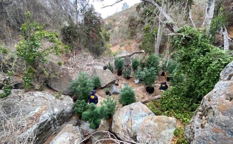 PDI descubre plantación ilegal de Cannabis en sector Socavón de Illapel