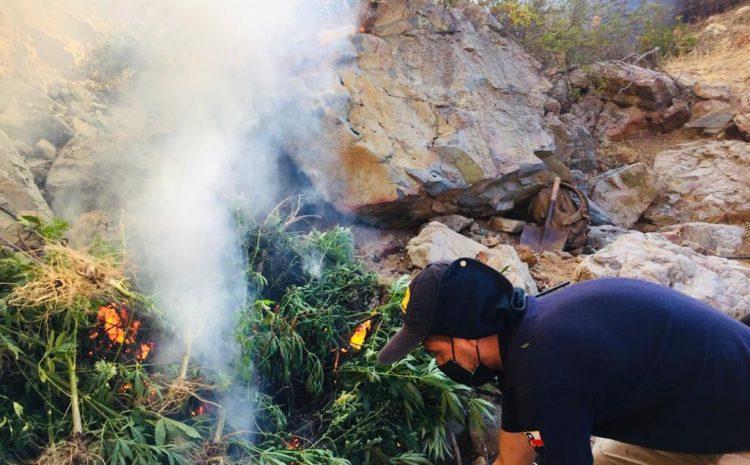 Tres operativos de la PDI permitieron la incautación de 3.683 plantas de Cannabis en el Choapa