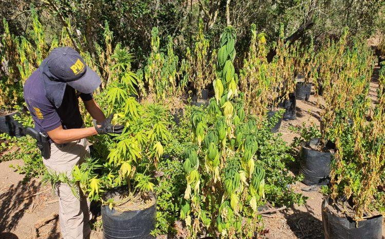PDI logra incautar en Los Vilos y Canela mas de 5 millones de dólares en cultivos de Cannabis