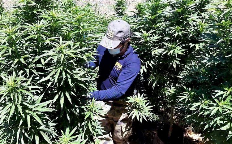 Más de 7 mil plantas de Cannabis incautan detectives en la comuna de Los Vilos
