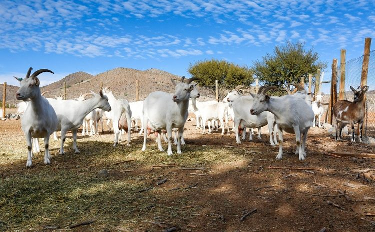 INDAP abre concurso enfocado en la entrega de inversiones para emprendimientos del rubro caprino