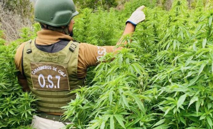 Carabineros logra incautación de 2.988 plantas de cannabis en Canela en medio de disparos