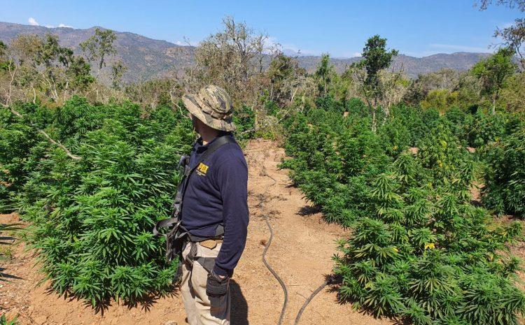 Plan Cannabis de la PDI erradica mas de 15 toneladas de plantas en Los Vilos