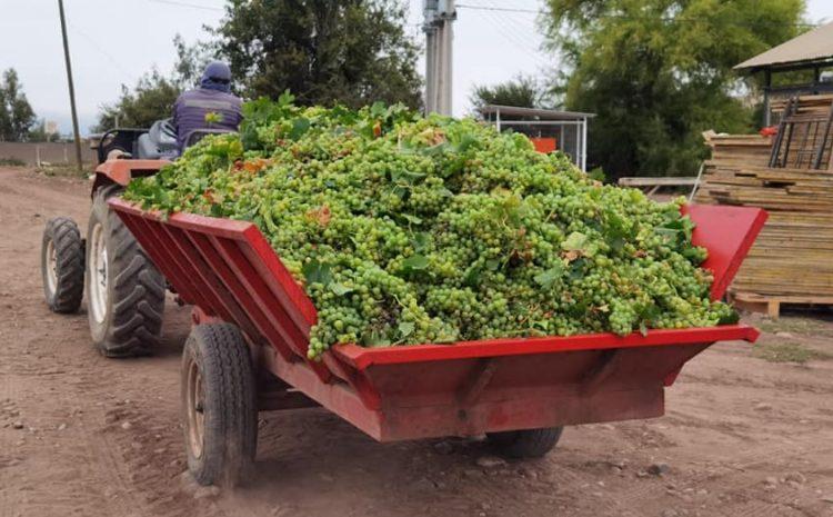 Industria pisquera valora continuidad del proceso de la vendimia gracias a permiso de desplazamiento agrícola