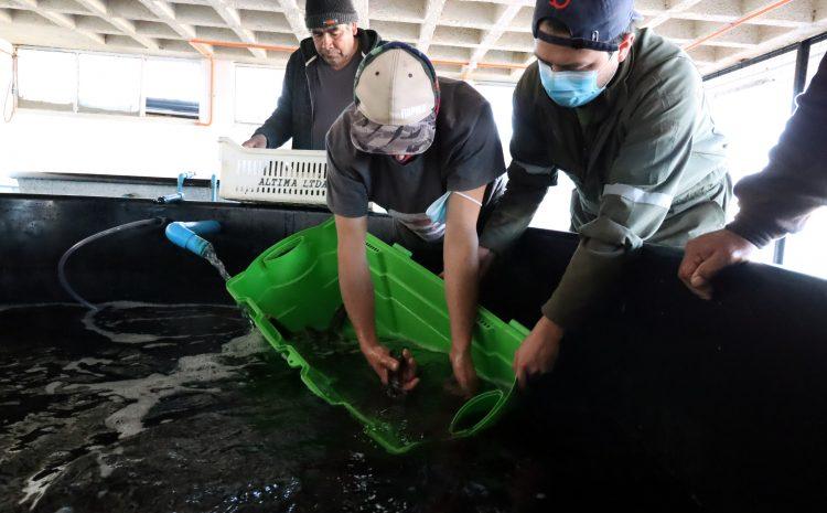 Con más de mil ejemplares de Congrio Colorado continúa plan de repoblamiento con pescadores de Los Vilos